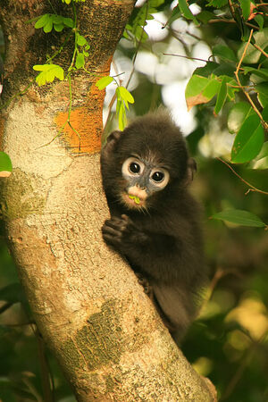 spectacled: Young Spectacled langur sitting in a tree, Wua Talap island, Ang Thong National Marine Park, Thailand