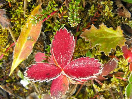Frosted strawberry leaves, Yoho National Park, British Columbia, Canada photo