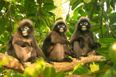 ang: Spectacled langurs sitting in a tree, Wua Talap island, Ang Thong National Marine Park, Thailand
