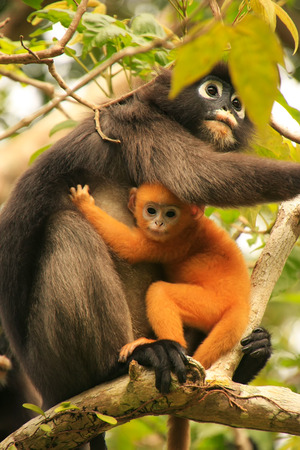 spectacled: Spectacled langur sitting in a tree with a baby, Wua Talap island, Ang Thong National Marine Park, Thailand Stock Photo