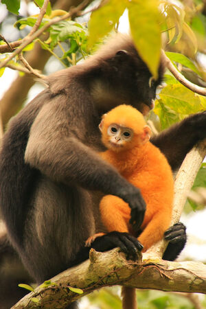 dusky: Spectacled langur sitting in a tree with a baby, Wua Talap island, Ang Thong National Marine Park, Thailand Stock Photo