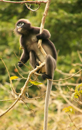 angthong: Spectacled langur sitting in a tree, Wua Talap island, Ang Thong National Marine Park, Thailand