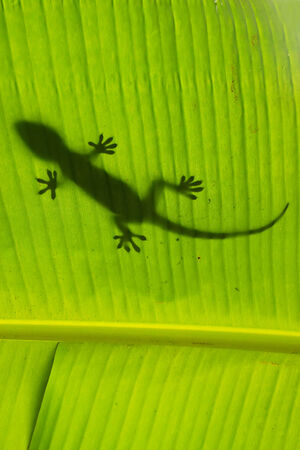 Silhouette of tokay gecko on a palm tree leaf, Ang Thong National Marine Park, Thailand photo