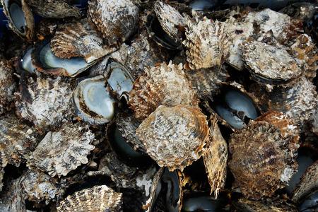 mollusc: Pile of oyster shells at pearl farm, Vanua Levu island, Fiji, South Pacific