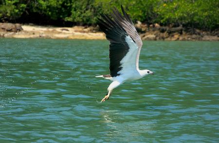 White-bellied Sea Eagle hunting, Langkawi island, Malaysia Stock Photo