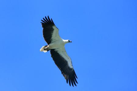 bellied: White-bellied Sea Eagle hunting, Langkawi island, Malaysia Stock Photo