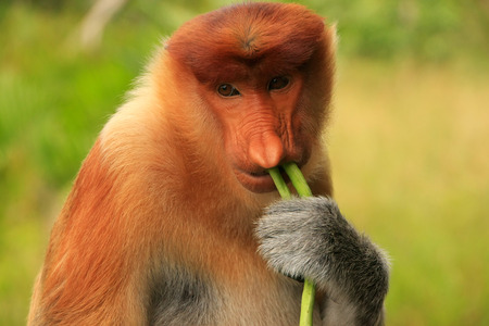 proboscis: Portrait of Proboscis monkey eating, Borneo, Malaysia Stock Photo
