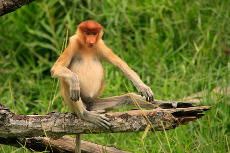 proboscis: Young Proboscis monkey sitting on a tree, Borneo, Malaysia Stock Photo