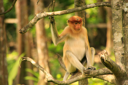 Young Proboscis monkey sitting on a tree, Borneo, Malaysia photo