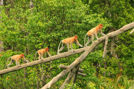 Proboscis monkeys on a tree, Borneo, Malaysia photo