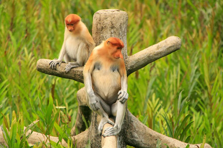 Proboscis monkeys sitting on a tree, Borneo, Malaysia photo