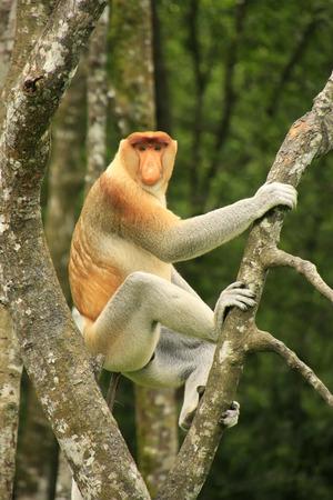 proboscis: Proboscis monkey sitting on a tree, Borneo, Malaysia Stock Photo
