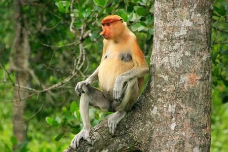 Proboscis monkey sitting on a tree, Borneo, Malaysia photo