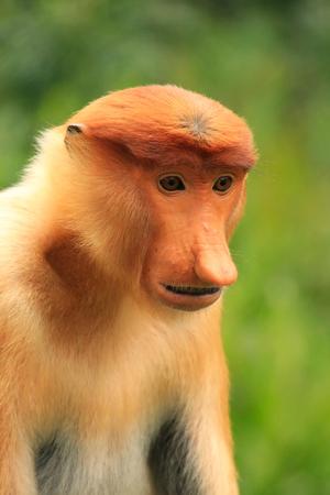 proboscis: Portrait of Proboscis monkey, Borneo, Malaysia