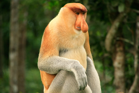 Proboscis monkey sitting on a tree, Borneo, Malaysia Imagens