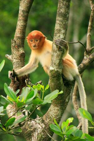 proboscis: Young Proboscis monkey sitting on a tree, Borneo, Malaysia Stock Photo