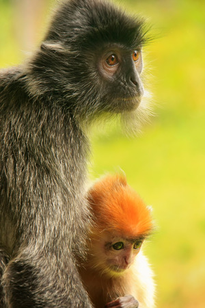 silvered: Silvered leaf monkey with a young baby, Sepilok, Borneo, Malaysia