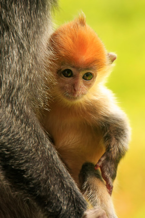 silvered: Young baby of Silvered leaf monkey, Sepilok, Borneo, Malaysia