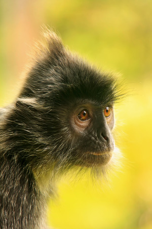 Portrait of Silvered leaf monkey, Sepilok, Borneo, Malaysia photo