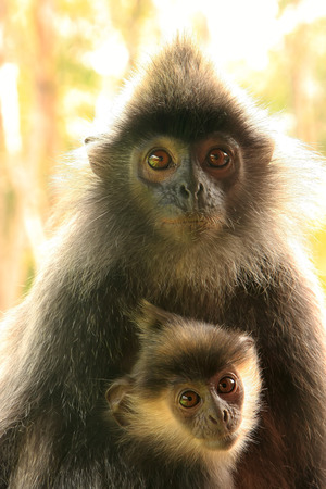 silvered: Silvered leaf monkey with a baby, Sepilok, Borneo, Malaysia