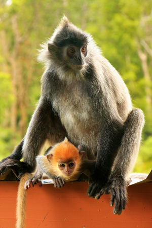 Silvered leaf monkey with a young baby, Sepilok, Borneo, Malaysia photo