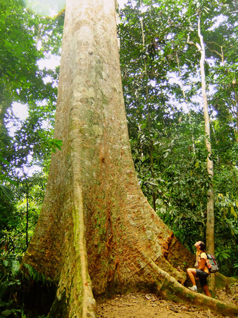 Tourist standing near giant tree, Taman Negara National Park, Malaysia photo