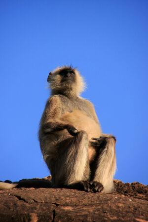 semnopithecus: Gray langur sitting at the temple, Pushkar, Rajasthan, India