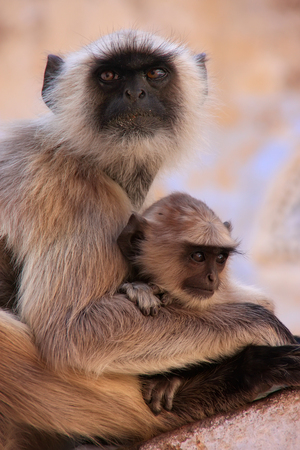 semnopithecus: Gray langur with a baby sitting at the temple, Pushkar, Rajasthan, India