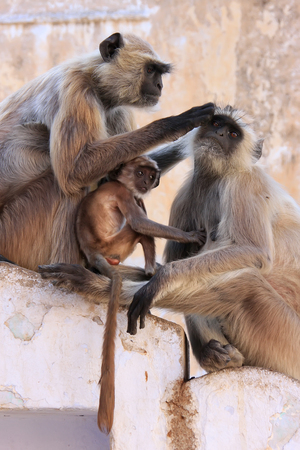 semnopithecus: Gray langurs with babies sitting at the temple, Pushkar, Rajasthan, India Stock Photo