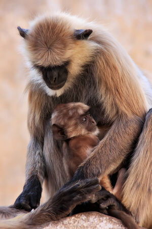 gray langur: Gray langur with a baby sitting at the temple, Pushkar, Rajasthan, India