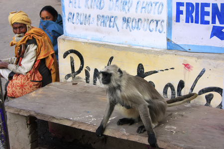 gray langur: Local people and gray langur sitting in the street, Pushkar, Rajasthan, India