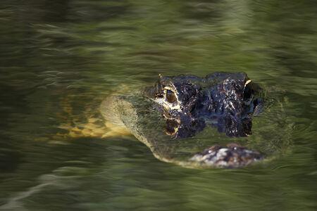 alligator: American alligator  Alligator mississippiensis  in Everglades National Park, USA
