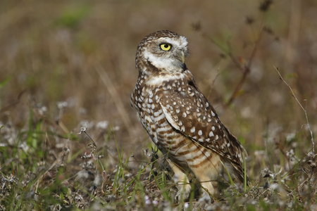 Burrowing Owl  Athene cunicularia  standing on the ground photo