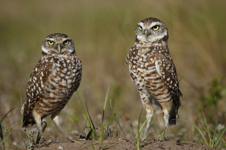 burrowing: Burrowing Owls  Athene cunicularia  standing on the ground Stock Photo