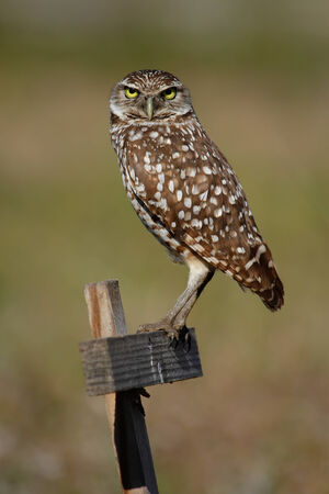 Burrowing Owl  Athene cunicularia  sitting on a wooden pole photo