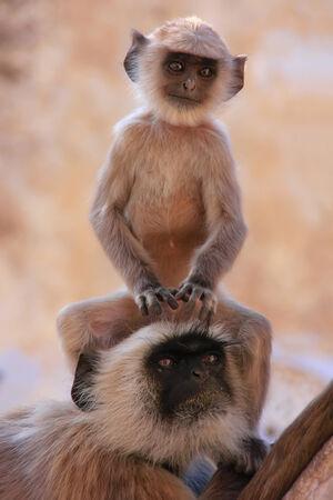 hanuman langur: Baby Gray langur sitting with mother, Pushkar, Rajasthan, India Stock Photo