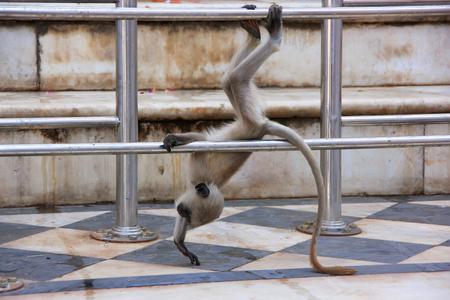 gray langur: Baby Gray langur playing at the temple, Pushkar, Rajasthan, India