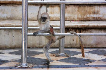 semnopithecus: Baby Gray langur playing at the temple, Pushkar, Rajasthan, India