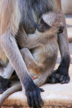 gray langur: Baby Gray langur sitting with mother, Pushkar, Rajasthan, India Stock Photo