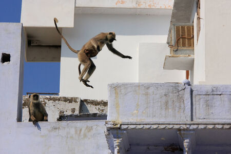 gray langur: Gray langurs playing in the streets of Pushkar, Rajasthan, India Stock Photo