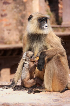 gray langur: Gray langur  Semnopithecus dussumieri  with a baby sitting at Ranthambore Fort, Rajasthan, India Stock Photo