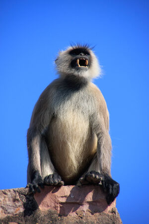 semnopithecus: Gray langurs  Semnopithecus dussumieri  showing its teeth,  Ranthambore Fort, Rajasthan, India
