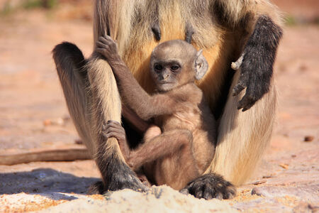 semnopithecus: Baby Gray langur  Semnopithecus dussumieri  playing near mother, Ranthambore Fort, Rajasthan, India