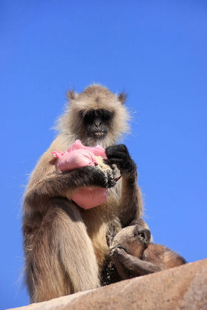 semnopithecus: Gray langur  Semnopithecus dussumieri  with a baby eating at Ranthambore Fort, Rajasthan, India Stock Photo