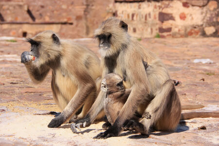 semnopithecus: Gray langurs  Semnopithecus dussumieri  with a baby sitting at Ranthambore Fort, Rajasthan, India