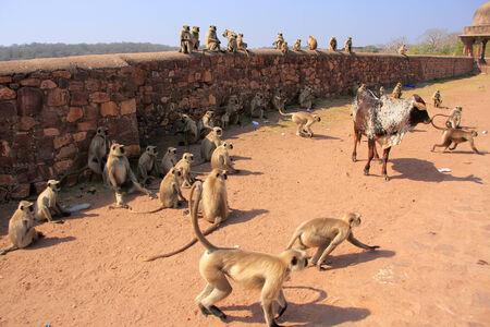 semnopithecus: Gray langurs  Semnopithecus dussumieri  playing at Ranthambore Fort, Rajasthan, India Stock Photo