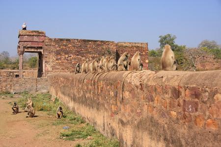 gray langur: Gray langurs  Semnopithecus dussumieri  sitting at Ranthambore Fort, Rajasthan, India