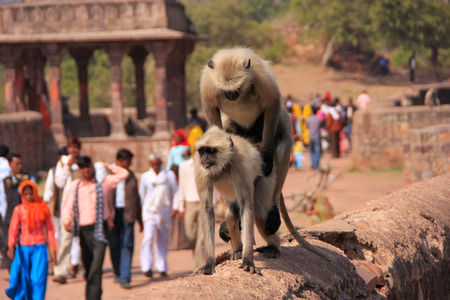 semnopithecus: Gray langurs  Semnopithecus dussumieri  mating at Ranthambore Fort, Rajasthan, India