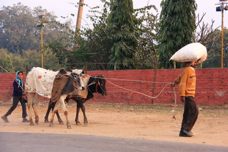 Father and daughter going along the road with cows, Sawai Madhopur, Rajasthan, India