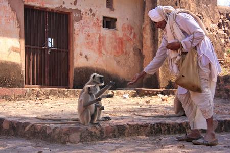 gray langur: Indian man feeding gray langurs at Ranthambore Fort, Rajasthan, India